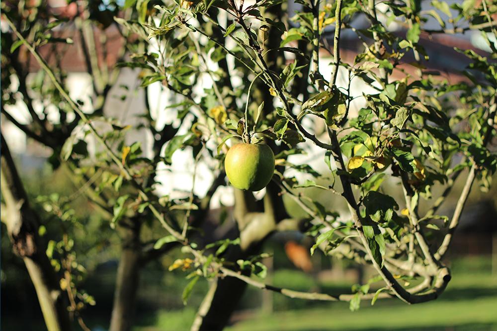 Manzano en Cangas de Onís